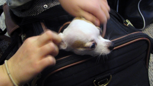 Little dog in carrier going on airplane